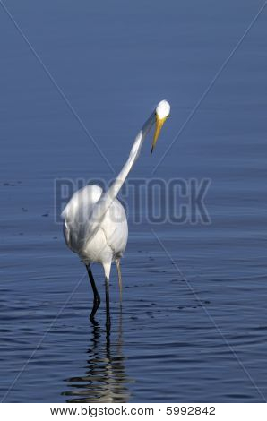 Ardea Alba, Great Egret