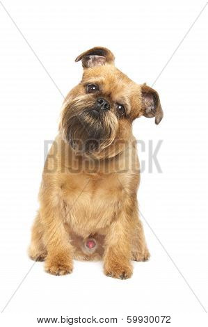 griffon bruxellois is isolated over white background poster