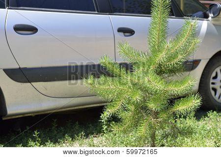 Pine Sapling On The Sidewall Car Background.