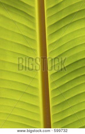 Palm, Banana Leaf
