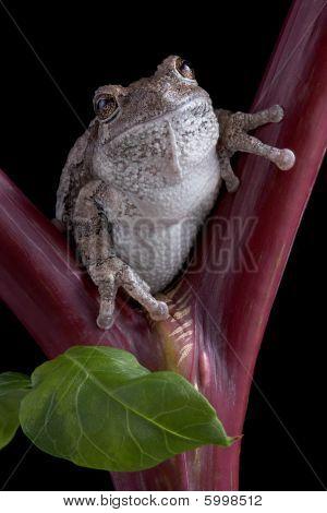 Gray Tree Frog On Red Stem
