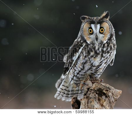 Long-eared Owl Sitting