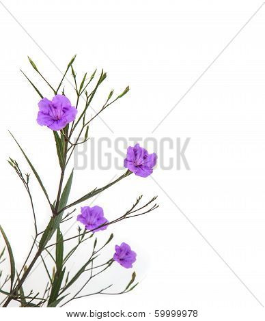 Ruellia Tuberosa Flower Blooming Against White Background