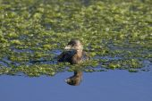 pied-billed grebe podilymbus podiceps swimming on the marsh poster