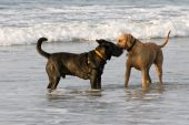 Two friendly dogs greeting each other in the ocean poster