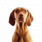 Hungarian Vizsla pointer dog on white background poster