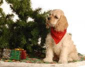 american cocker spaniel puppy sitting beside christmas tree poster