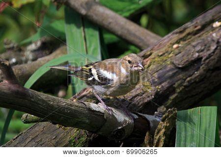 A female chaffinch feeding