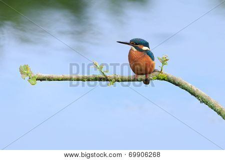 A Kingfisher perched on a branch