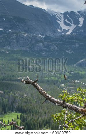 Broad Tailed Hummingbird Sitting On Pine Twig Tree With Mountain View