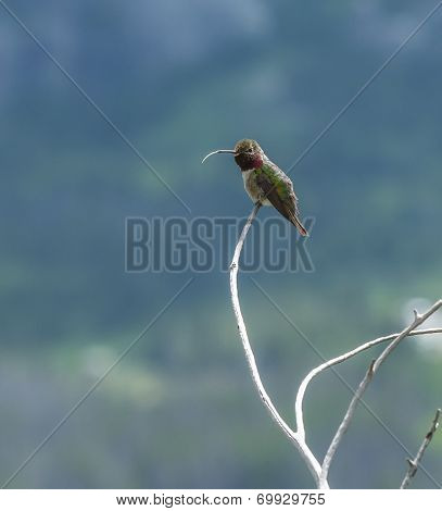 Broad Tailed Hummingbird Sticking Out His Toungue