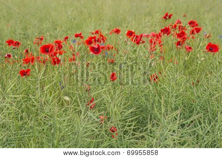 Wild flower meadow with poppies