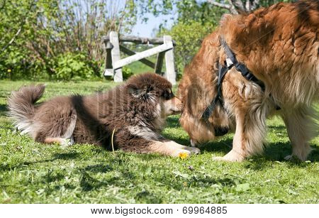 Puppy, 13 weeks frolic and romping Finnish lapphund on the lawn. Happy with her ma. Flowers and a sawhorse in the background. poster