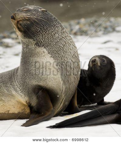 Antarktische Seebär und pup