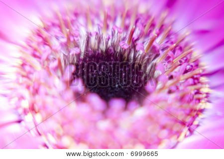 Pink and White Daisy Flower Close Up Macro