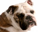 brindle and white english bulldog head portrait on white background poster
