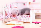 Female ferret baby in the doll house sleeps on a little bed poster