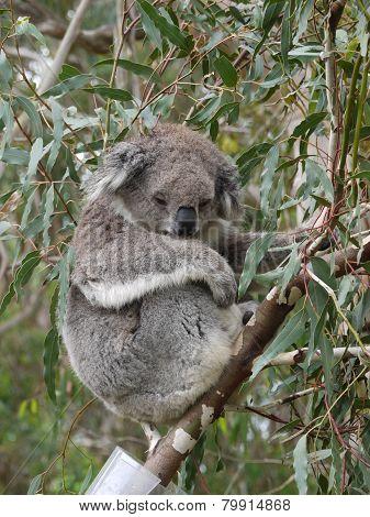 Koala in an Eucalyptus tree