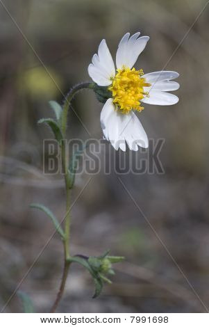 White Tidy-tips - Layia Glandulosa - Wildflower