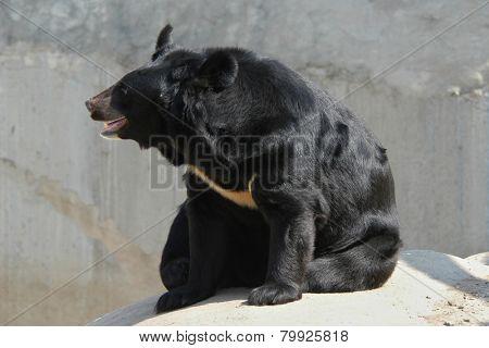 Asian black bear (Ursus thibetanus).