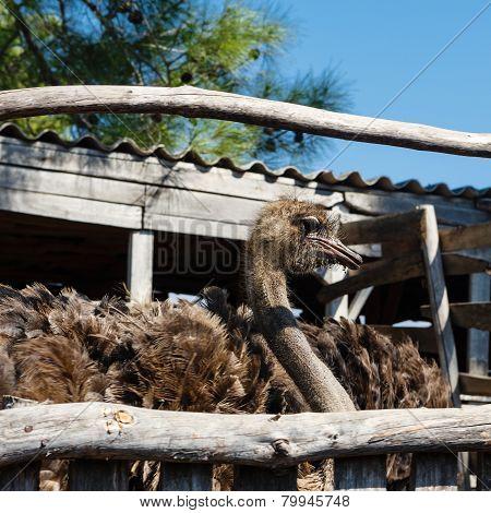 Ostrich On An Farm
