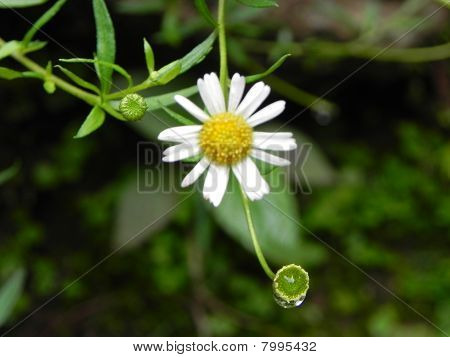 A type of Daisy