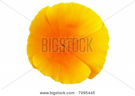 California Poppy (Eschscholzia)