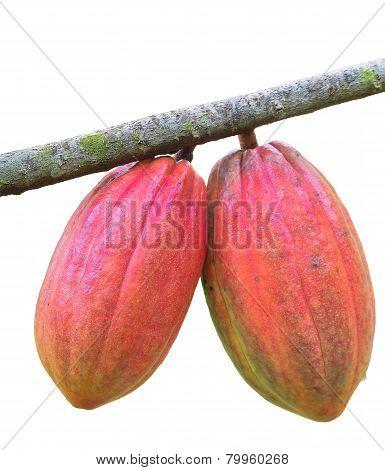 Cocoa pod on the tree