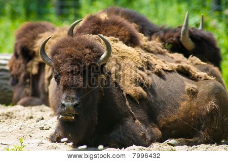 Buffalo lying on the ground