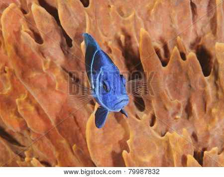 Indigo Hamlet (Hypoplectrus indigo) in Front of a Barrel Sponge - Roatan Honduras poster