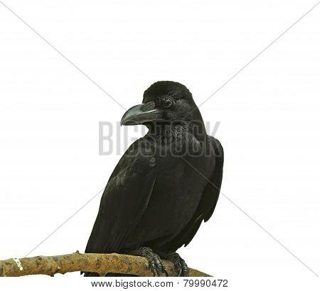Black Bird (large-billed Crow) Isolated On White Background