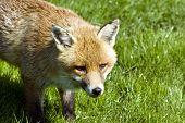Alert fox walking on grass in bright sunlight poster