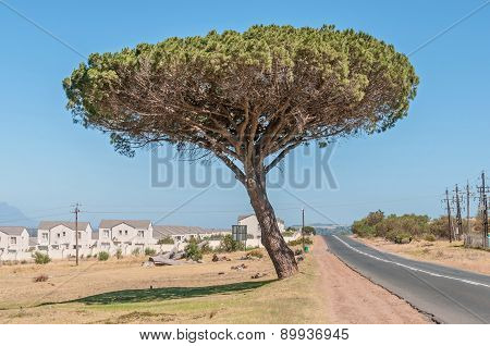 Pine Tree In Somerset West