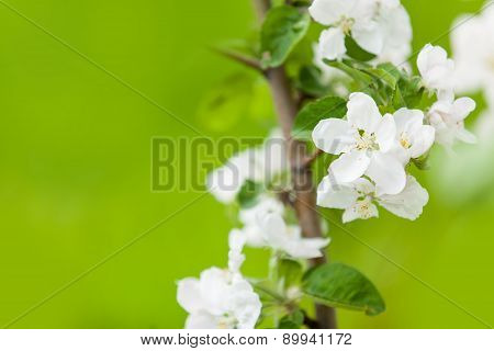 Photo Of Blossom Quince Tree