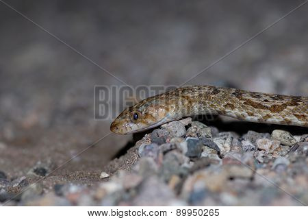The Sonoran Lyre snake photographed on the Arizona Mexico border. poster