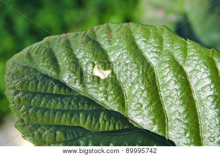 Closeup of a hole on loquat leaf