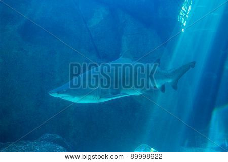 Shark swimming in an aquarium at the aquarium