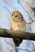 Barred owl perched in a tree at sunrise and calling in the woods in midwest United States. poster