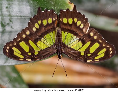 The Malachite Wingspan