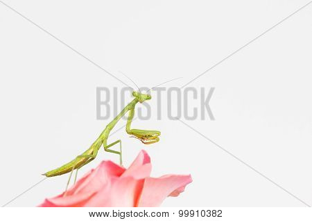 Side view of young praying mantis nymph with head truned to face viewer. Close up of beneficial insect on pink flower. poster