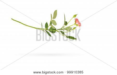 Falling Rose On White With Shadow