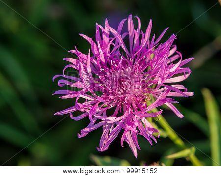 Cornflower grungy