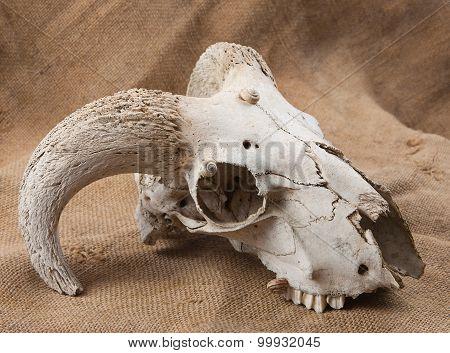 Animal's Skull On Sacking
