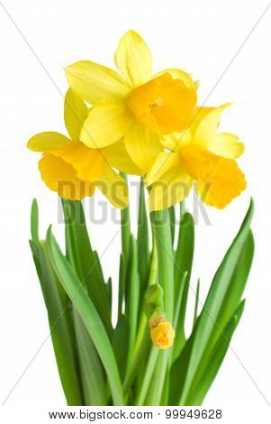 daffodils in green grass over white