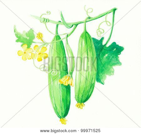 Patola or Bitter sponge gourd in water color painting