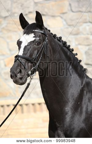 Beautiful Black Dutch Warmblood With Bridle