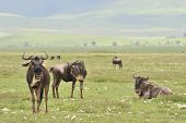 Antelopes on rest. Antelopes have a rest on a green grass in crater Ngorongoro. poster