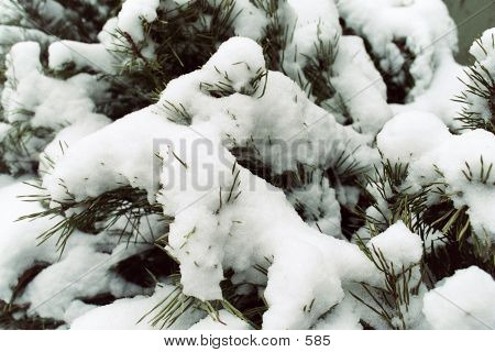 snow, branches, evergreen, winter, cold poster