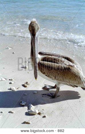 Pelican Shot