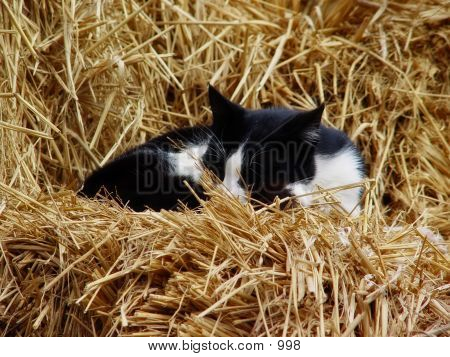 Cat That Sleeps on dried grass poster